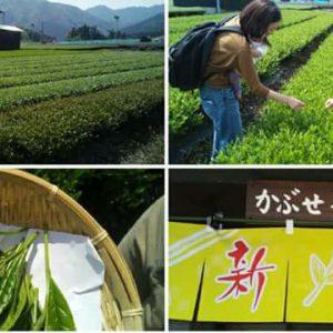 【イベント報告】TKT48チーム三重で、かぶせ茶体験&三重ふるさと新聞掲載